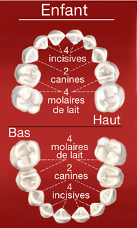 Schema dents de l'enfant